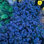 Anchusa capensis Blue Angel - 200 seeds